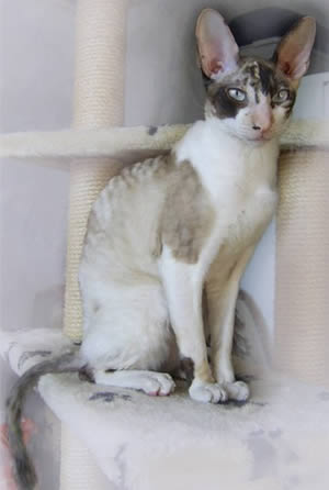 Корниш рекс (Cornish Rex)