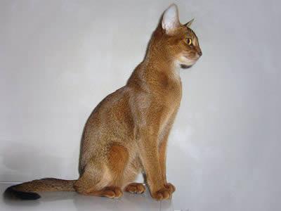 Абиссинская кошка (Abyssinian)