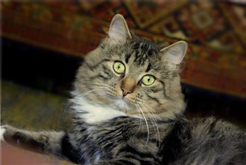 Сибирская (Siberian Cat)