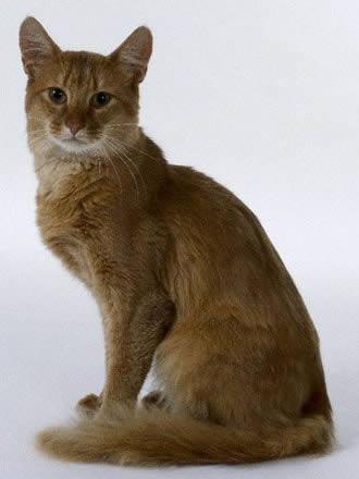 Породы кошек которые начинаются с буквы с thumbnail