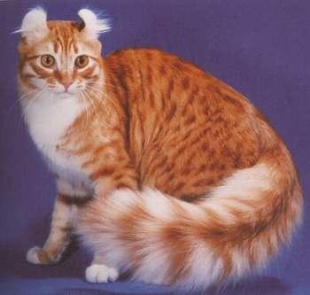 Кот американский керл, кот американский керл фото