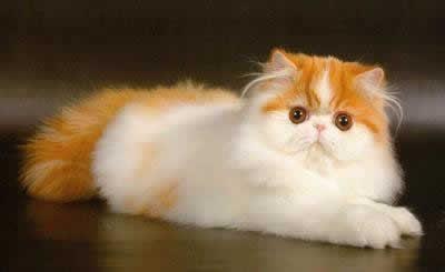 Персидская кошка - порода средней величины, но довольно тяжеловесная (4...